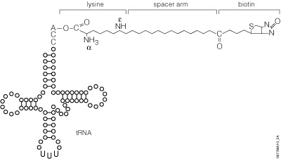 Schematic representation of Transcend™ tRNA structure.