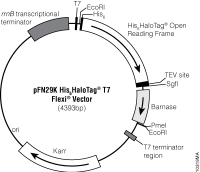 pFN29K His6HaloTag® T7 Flexi® Vector.